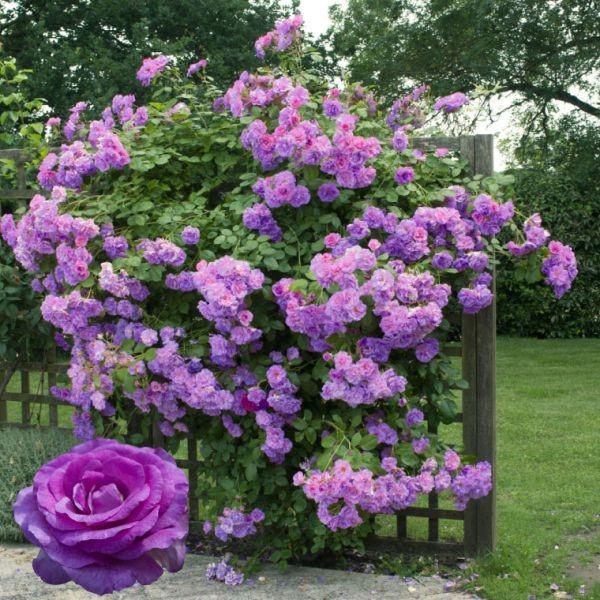 Плетистая роза Индиголетта (Indigoletta).