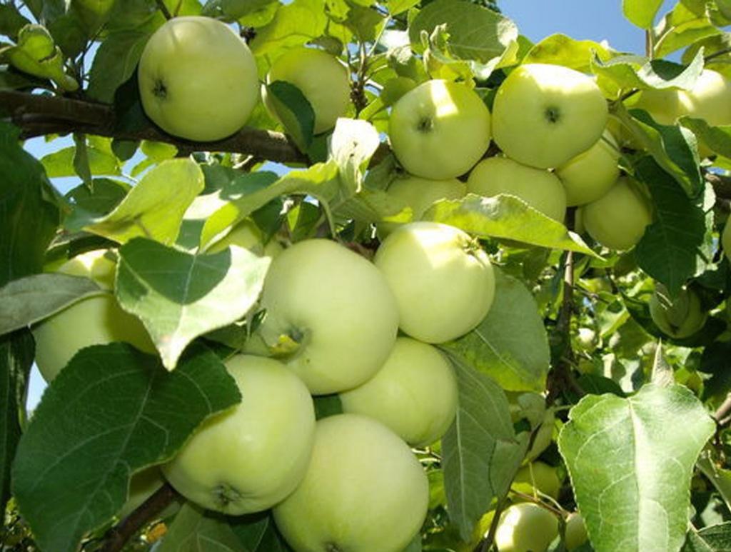 "Яблоня сорт ""Белый налив""."