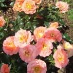 Мини-розы, патио. «ГЕНЕЗИС».