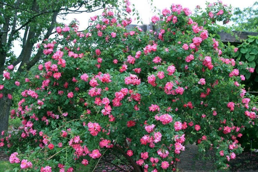 Patte de Velours, Почвопокровная роза.