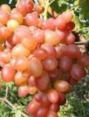 """Виноград  сорт """"Ливия""""."""
