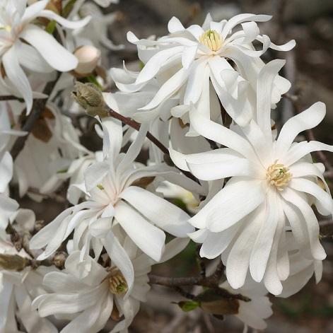 Magnolia stellata'Royal Star'.