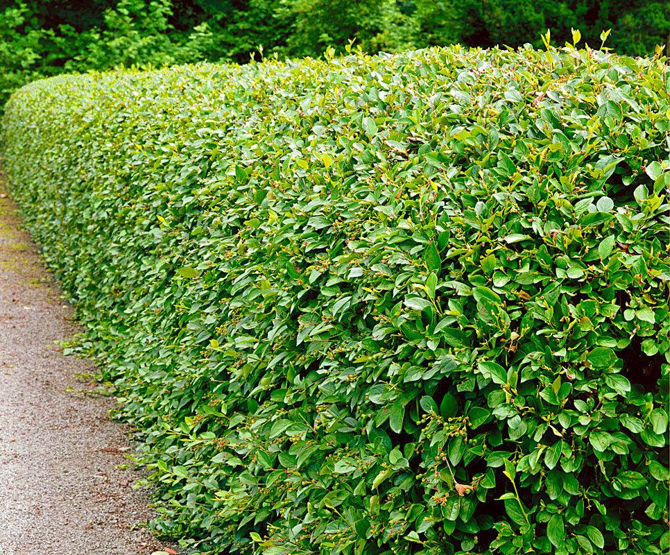 Кизильник блестящий (лат. Cotoneaster lucidus).