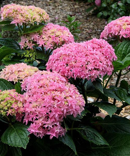 """Гортензия крупнолистная сорт """"Перфекшн"""" –Hydrangea macrophylla """"Perfection""""."""