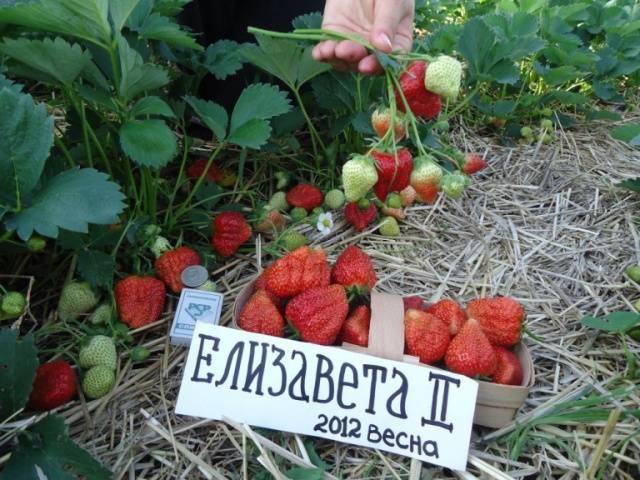 """Клубника ремонтантная сорт """"Елизавета 2""""."""