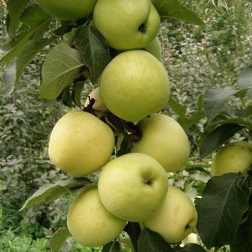 """Яблоня колоновидная сорт «Малюха""""."""