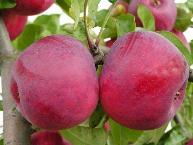 """Яблоня  сорта """"Макинтош""""."""