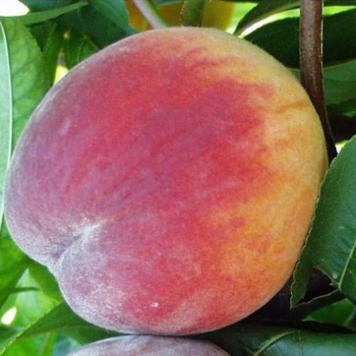 """Персик сорта """"Вулкан"""". Подвой алыча."""