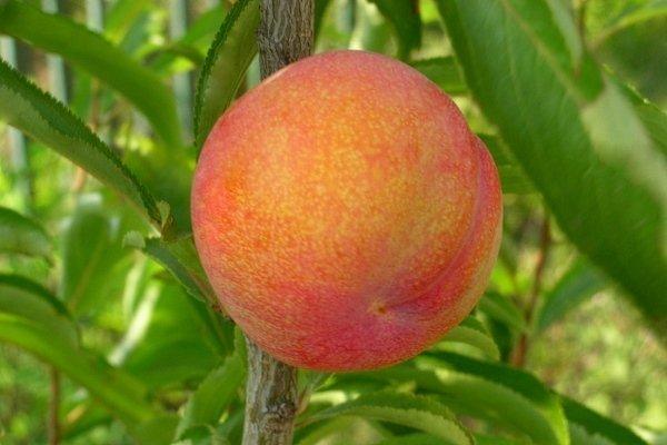 "Шарафуга(гибрид персик, слива, абрикос ) сорта ""Bella Gold""."
